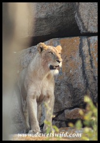 Lions at Orpen Rocks (photo by Joubert)