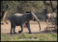 Elephant antics at Leeupan (photo by Joubert)