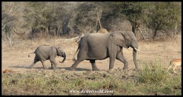 Mom and baby elephant at Leeupan (photo by Joubert)