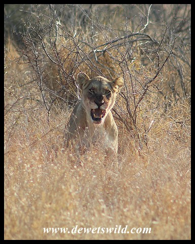 A very angry lioness