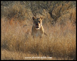 Lioness charging