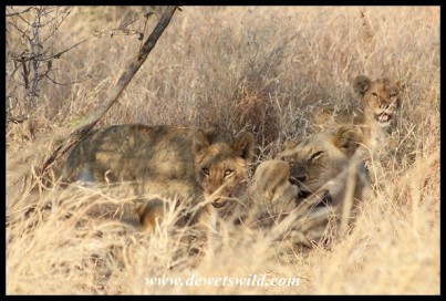 Lioness surrounded by cubs