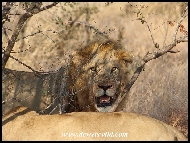 The big, but not so brave, male lion