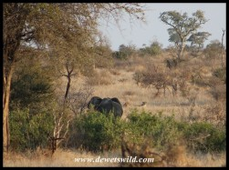 Elephant and lions in one shot (while on foot)
