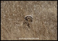 Honey Badger peeping at us