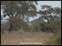 Big male lion keeping an eye on us