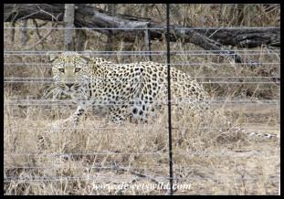 Leopard inside a game farm along the road, Hoedspruit district, South Africa