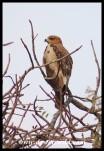 Immature African Hawk-Eagle