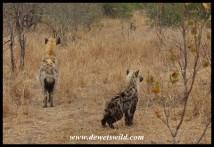 Alert hyenas