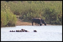 Buffaloes drinking from the Sabie while a crowd of terrapins watch
