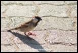 House Sparrow in Lower Sabie