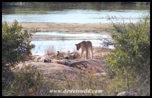 Lion pride at Lubyelubye