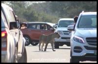 Lion roadblock