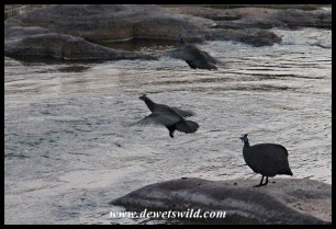 Helmeted Guineafowls crossing the Sand River