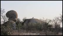 Lions at Orpen Rocks