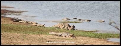 Crocodiles next to Orpen Dam