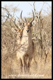 Waterbuck on their way to Orpen Dam