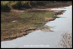 Crocodiles lining the bank of the Orpen Dam