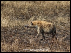 Heavily pregnant Spotted Hyena