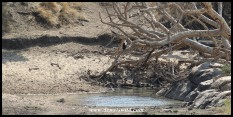 Fish Eagle keeping watch over a pool in the Nwaswitsontso.