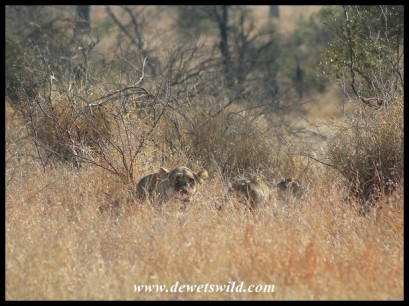 Lioness keeping an eye on us