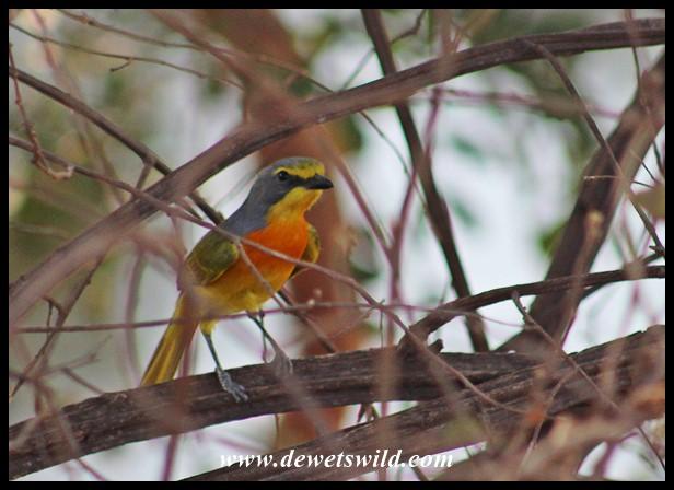 Orange-breasted Bush-shrike