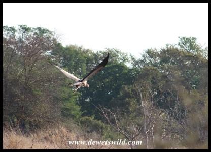 Secretary bird flying off