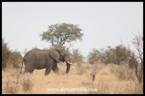 Elephant walking side-by-side with us
