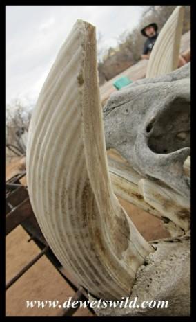 Hippo tusk