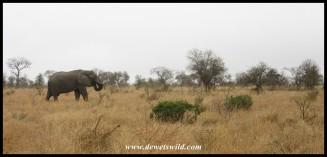 Elephant on the plains west of Satara