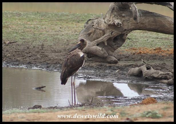 Immature Saddle-billed Stork