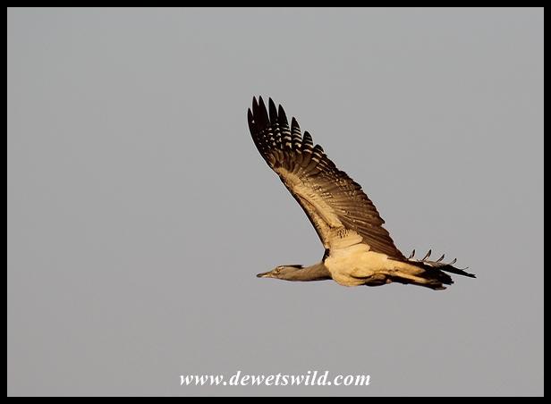 Kori Bustard in flight (photo by Joubert)