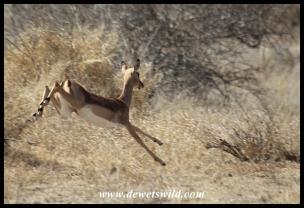 Impala (photo by Joubert)