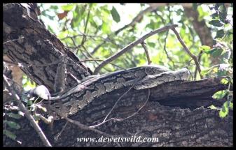 African Rock Python (photo by Joubert)