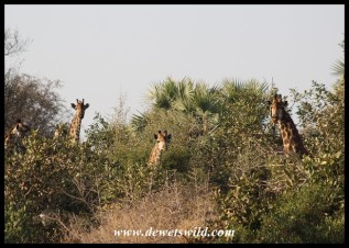 Giraffes peering from a clump of bushes