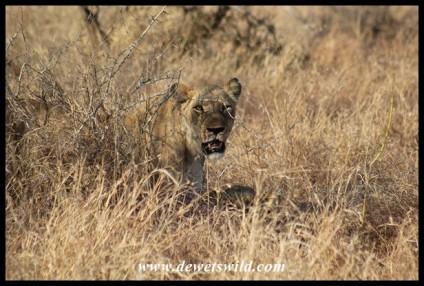 Lioness (photo by Joubert)