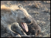 Spotted Hyena female showing off her tools (photo by Joubert)