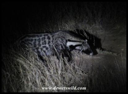 African Civet (photo by Joubert)