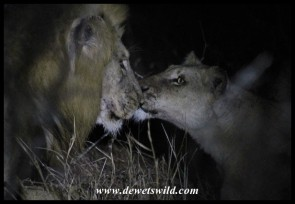 Tender moment between mommy and daddy (photo by Joubert)