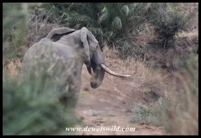 Beautiful elephant bull along the Nungwini (photo by Joubert)