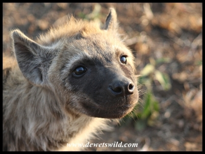 Cute Spotted Hyena youngster (photo by Joubert)
