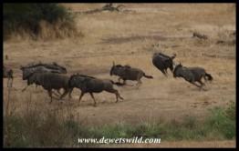 Wildebeest pest (photo by Joubert)