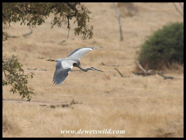 Grey Heron swooping down (photo by Joubert)