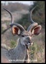 Young Kudu bull (photo by Joubert)