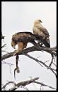 Tawny Eagles feasting on a monitor lizard (photo by Joubert)