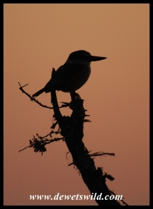 Brown-hooded Kingfisher in silhouette at dawn (photo by Joubert)