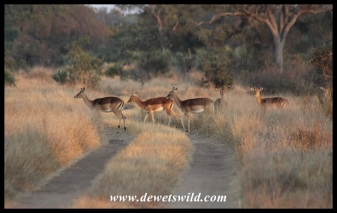Impala's crossing the two-spoor road leading from Sweni Wilderness Trails Camp (photo by Joubert)