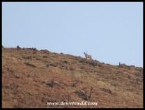 Kudu bulls on a hilltop