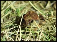 Natal Sand Frog