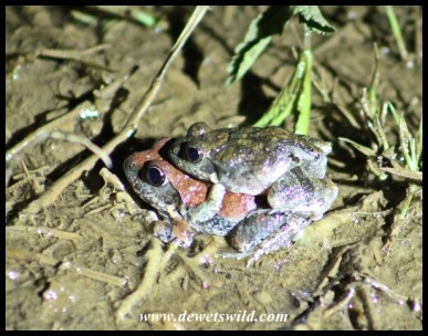 Natal Sand Frogs